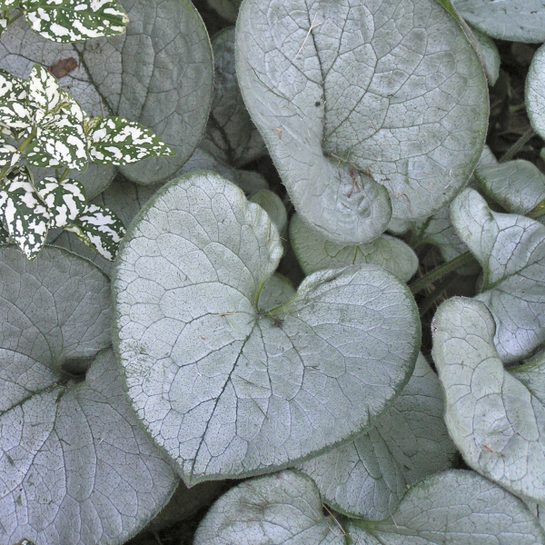 Brunnera 'Looking Glass' Heartleaf Brunnera