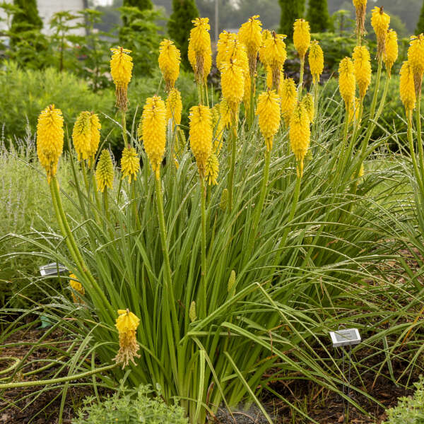 Kniphofia 'Solar Flare' Red Hot Poker