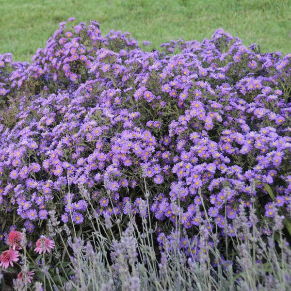 Aster KICKIN® 'Lilac Blue' Aster