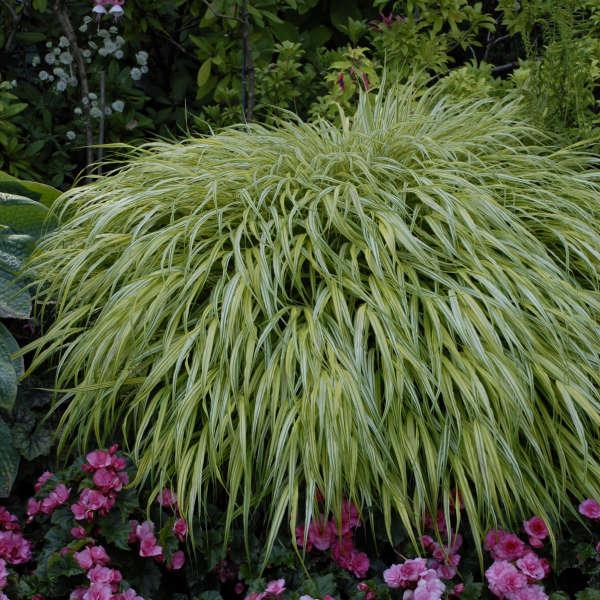 Hakonechloa 'Aureola' Hakone Grass