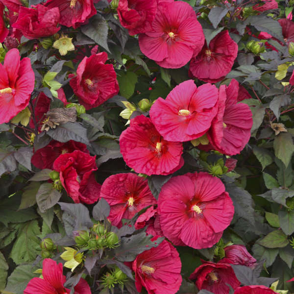Hibiscus 'Mars Madness' Rose Mallow