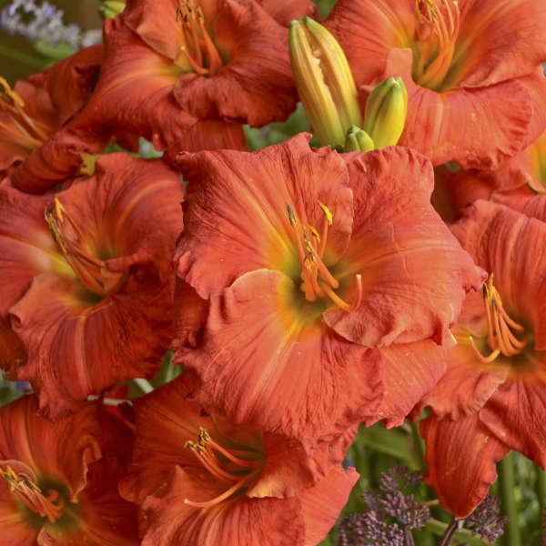 Hemerocallis 'Desert Flame' Daylily