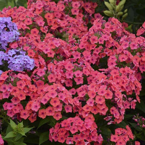 Phlox FLAME™ Series Coral Tall Garden Phlox