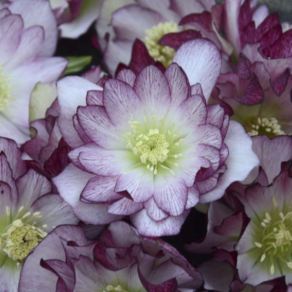 Helleborus 'Blushing Bridesmaid' Lenten Rose