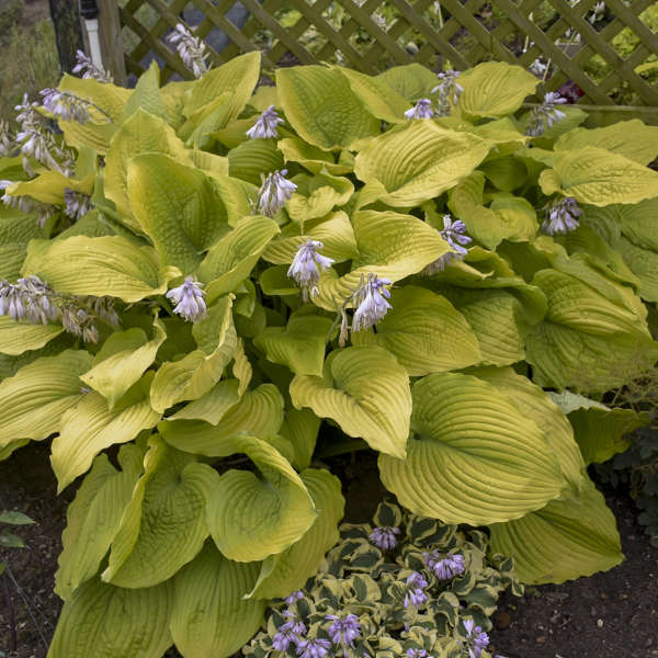 Hosta Coast To Coast Pp26469 Cpbraf Walters Gardens Inc