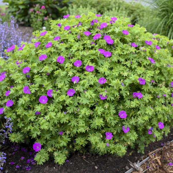 Geranium 'Alpenglow' Hardy Geranium