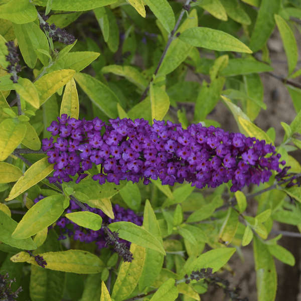 Buddleia 'Little Nugget' Butterfly Bush