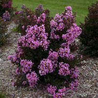 Lagerstroemia 'Perky Pink'