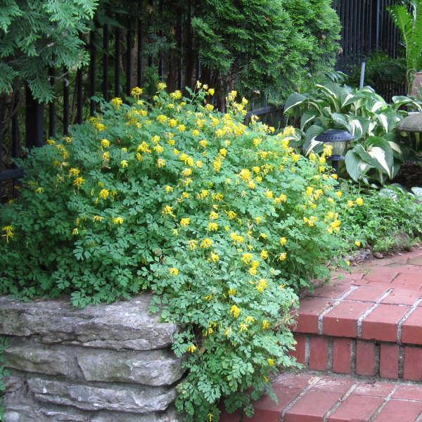 Corydalis lutea Yellow Corydalis