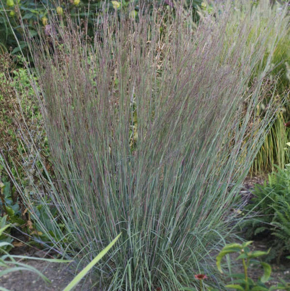 Schizachyrium BLUE HEAVEN™ Little Bluestem