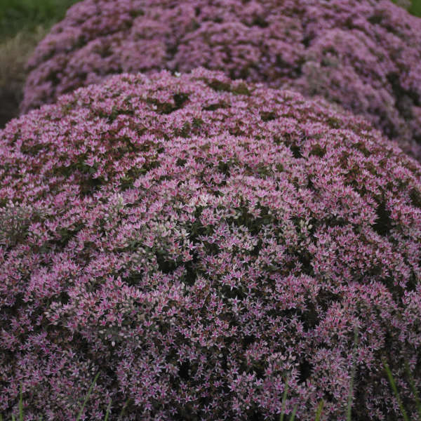 Sedum 'Pride and Joy' Stonecrop