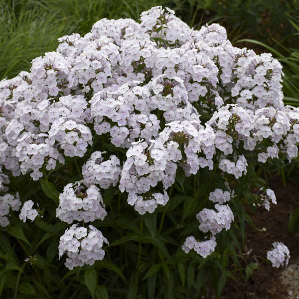 Phlox 'Fashionably Early Crystal' Hybrid Phlox