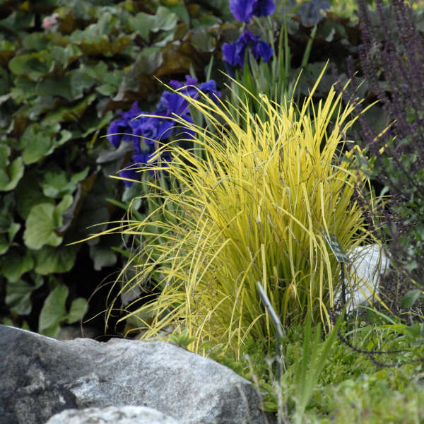 Carex 'Bowles Golden' Gold Sedge