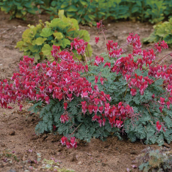 Dicentra 'Fire Island' Fern-leaved Bleeding Heart
