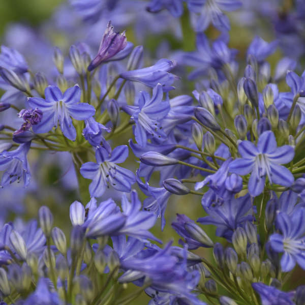 Agapanthus 'Little Galaxy' Lily of the Nile