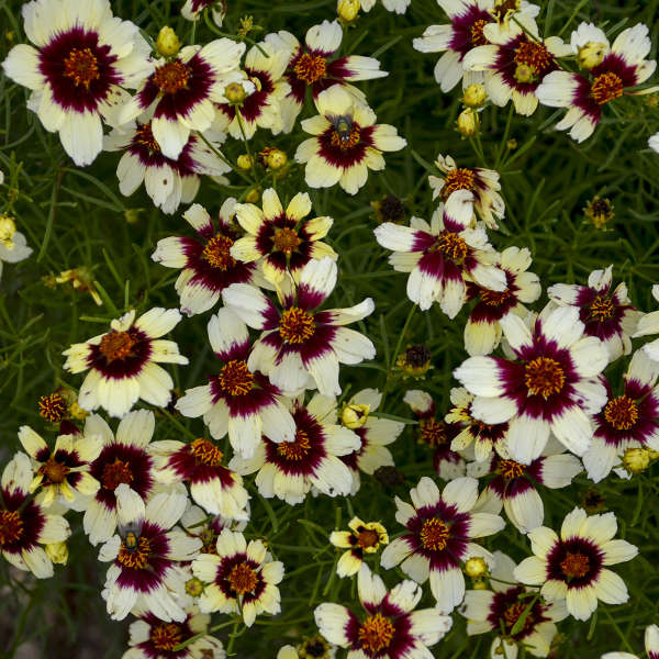 Coreopsis 'Red Hot Vanilla' Threadleaf Coreopsis