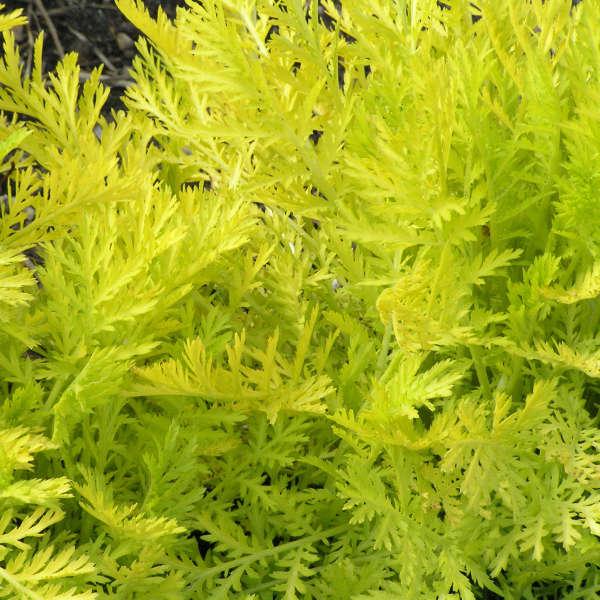 Tanacetum 'Isla Gold' Gold Leaf Tansy