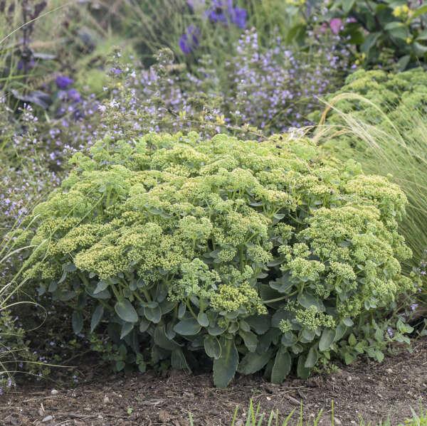 Sedum 'Lemonjade' Autumn Stonecrop