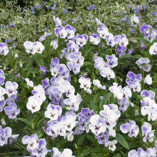 Viola 'Painted Porcelain' Tufted Violet