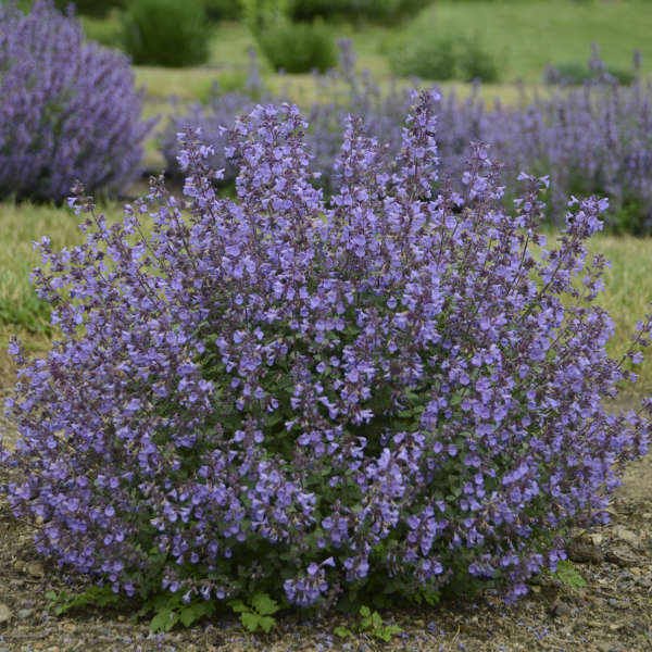 Nepeta 'Kitten Around' Catmint
