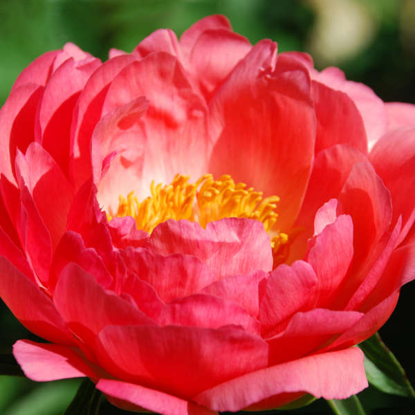 Paeonia 'Coral Sunset' Garden Peony