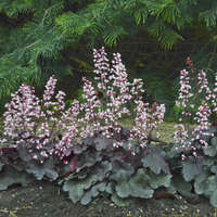 Heuchera BRAZEN RAISIN&#8482