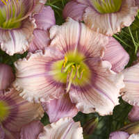 Hemerocallis 'Stephanie Returns'