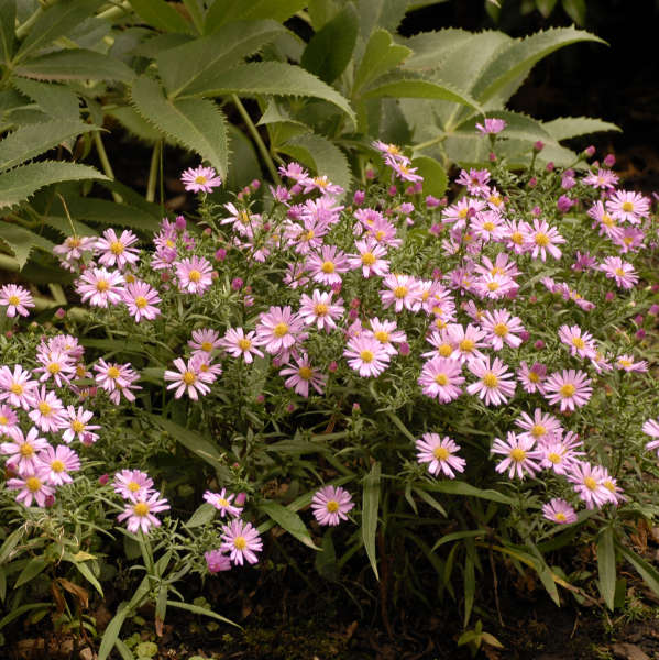 Aster 'Wood's Pink' New York Aster