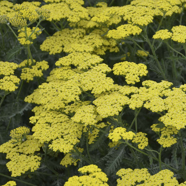 Achillea 'Sassy Summer Lemon' Yarrow