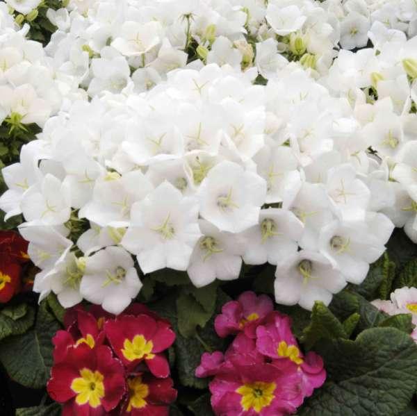 Campanula CLIPS&#174 White Carpathian Bellflower