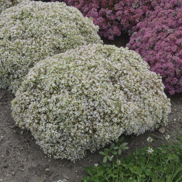 Sedum 'Bundle of Joy' Stonecrop