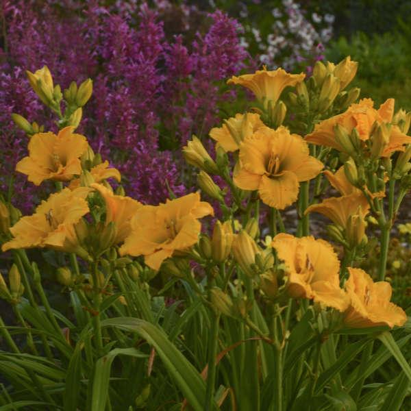 Hemerocallis 'Elegant Explosion' Daylily