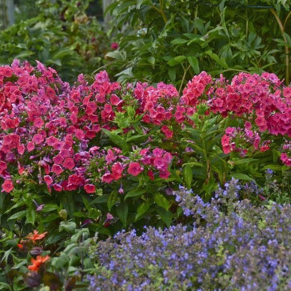 phlox flame series coral tall garden phlox - Tall Garden Phlox