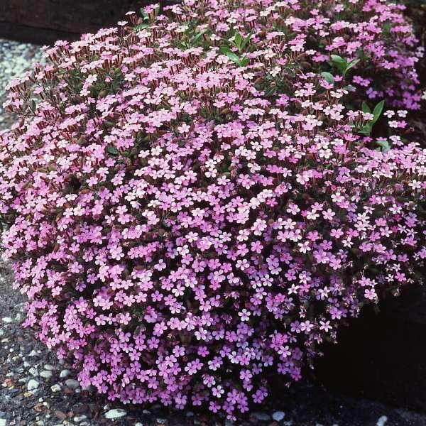 Saponaria ocymoides Rock Soapwort