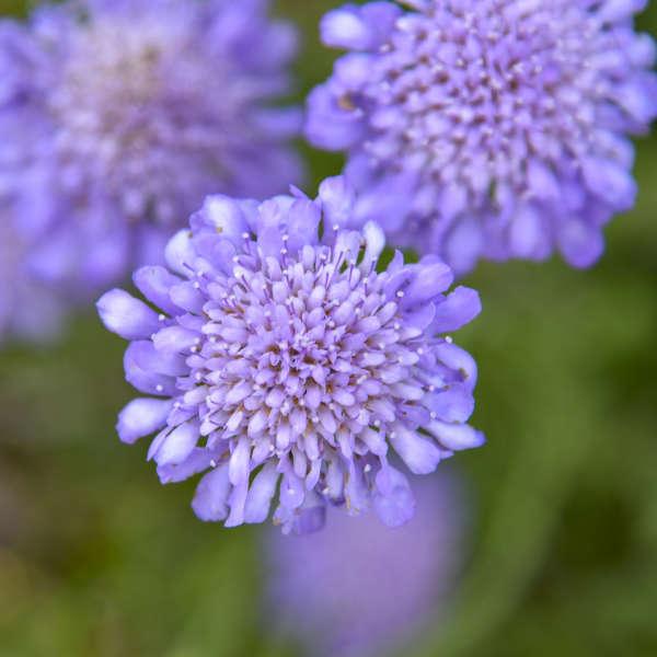 Scabiosa 'Butterfly Blue' Pincushion Flower