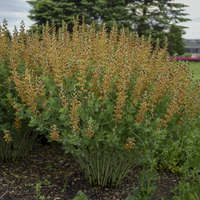 Baptisia 'Cherries Jubilee'