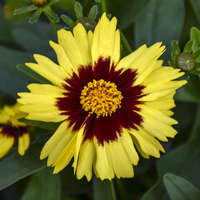 Coreopsis UPTICK&#8482 Yellow & Red