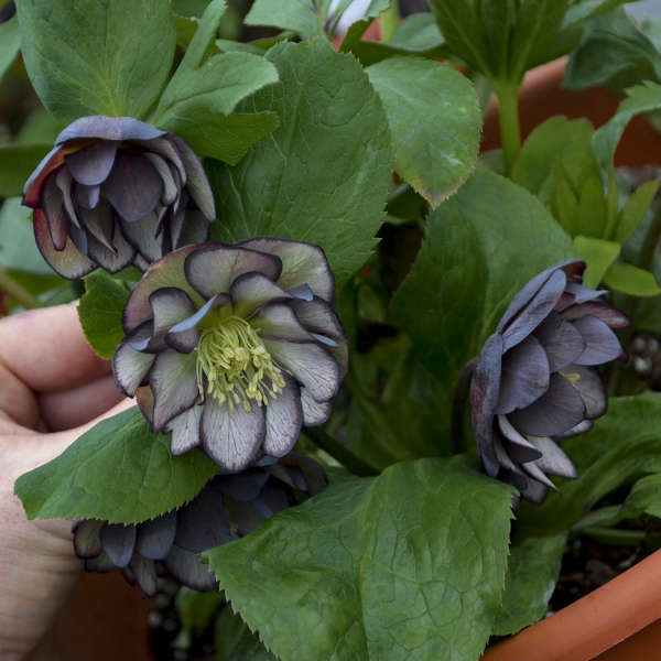 Helleborus 'Black Tie Affair' Lenten Rose
