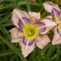 Hemerocallis 'Handwriting on the Wall'