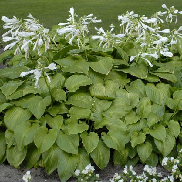 Hosta Plantaginea Perennial Resource