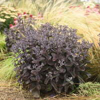 Sedum 'Back in Black'