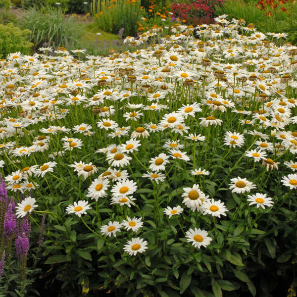 Leucanthemum 'Becky' Shasta Daisy