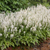 Tiarella 'Cutting Edge'