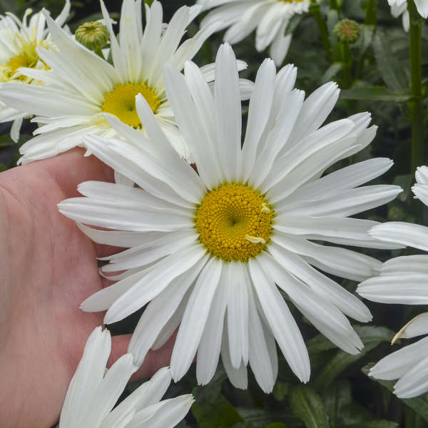 Leucanthemum 'Spoonful of Sugar' Shasta Daisy