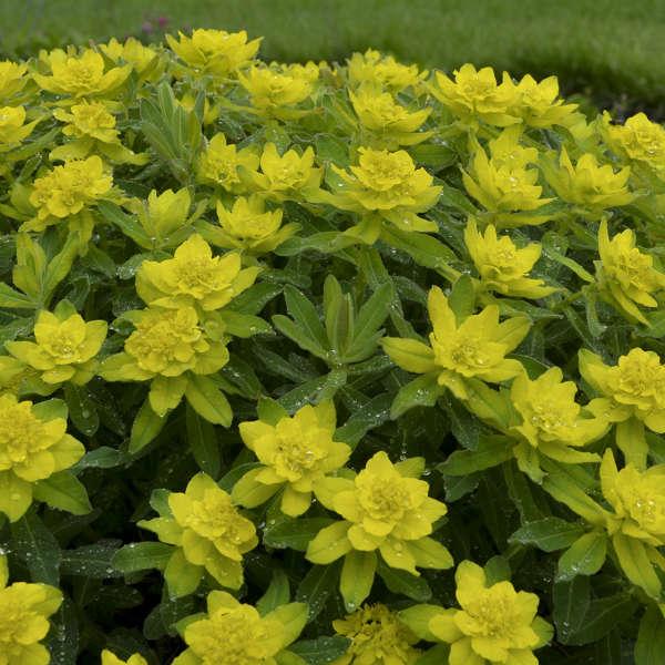 Gold Euphorbe purpurea-Euphorbia polychroma