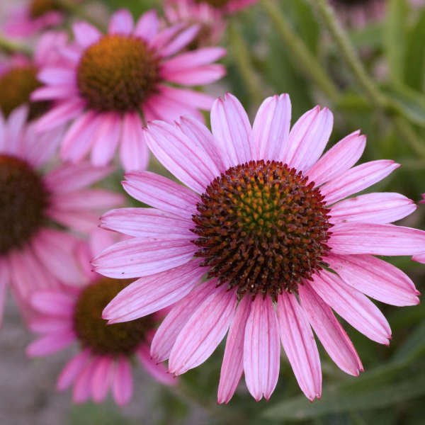 Echinacea PIXIE MEADOWBRITE™ Purple Coneflower