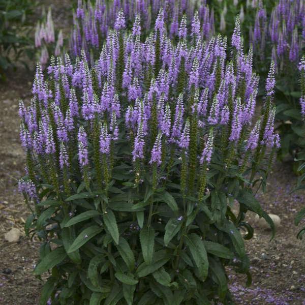 Veronica 'Lavender Lightsaber' Spike Speedwell
