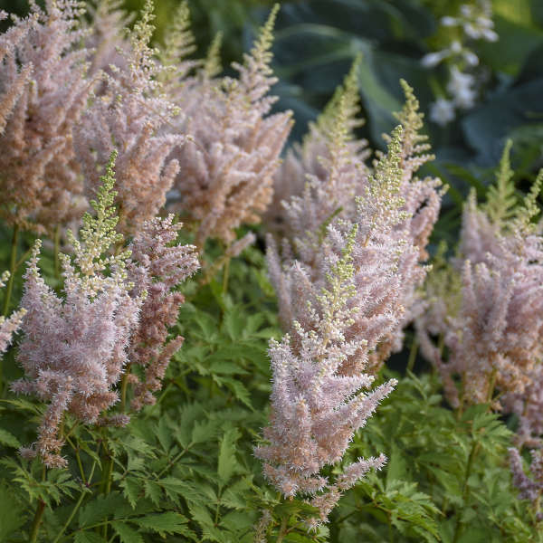 Astilbe 'Milk and Honey' Chinese Astilbe