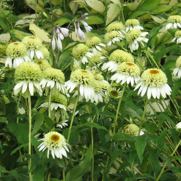 Echinacea 'Coconut Lime' Coneflower