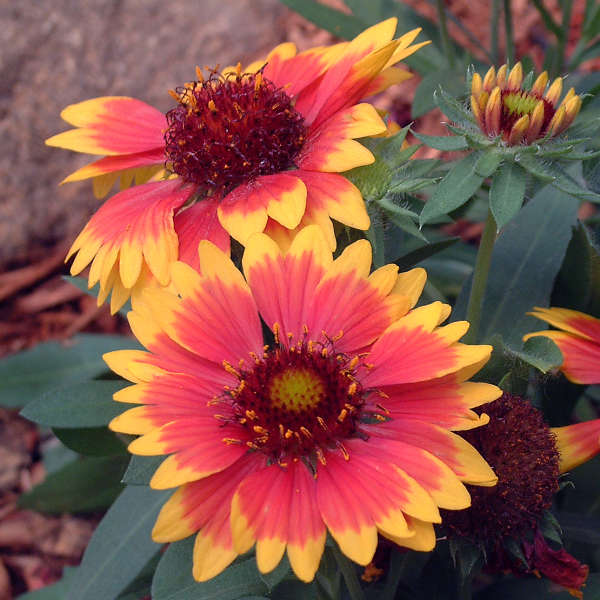Gaillardia 'Goblin' Blanket Flower